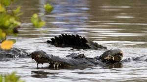 Dos cazadores observaron como un enorme caimán se comió la presa que habían atrapado (Video)