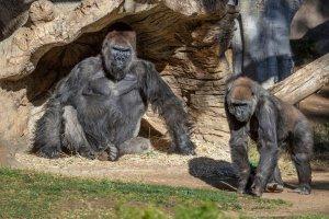 ¿Para qué los gorilas se golpean el pecho? La investigación que reveló inquietante resultado