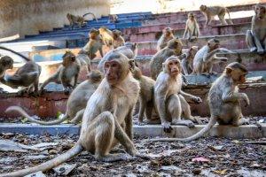 Los monos ladrones de Bali aprendieron a identificar artículos de valor para los humanos y pedir recompensa por ellos