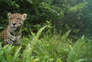 Proyecto Sebraba: Al rescate del jaguar venezolano, asfixiado por la mano del hombre
