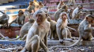 Detenidos en India dos hombres que utilizaban monos para robar dinero