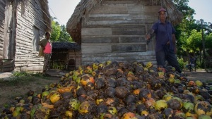 "Cuba, otra cosecha perdida: ""tírenle fotos al mango podrido"""