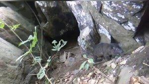 Extraño ladrido llevó al hallazgo de nueva especie de mamífero en África (Video)