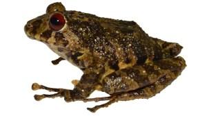 Bautizaron nueva especie de rana en Ecuador con el nombre de mítica banda de rock