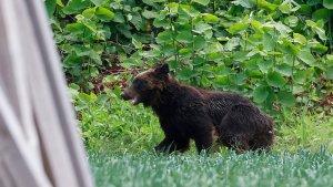 Pánico en Japón por un oso suelto que atacó a cuatro personas (VIDEOS)