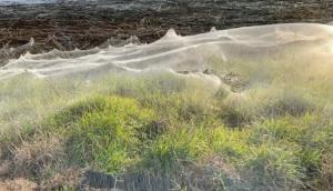 Manto de telarañas cubrió una región australiana (Video)