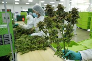 Colombia autorizó exportación de flor seca de cannabis con fines medicinales