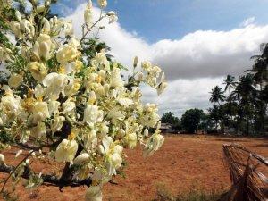 """Moringa: Estudio de la Unam reveló otro beneficio del llamado """"árbol milagro"""""""