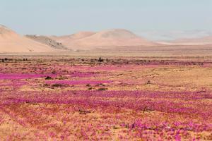 """El """"milagro"""" de las flores en el desierto de Atacama está bajo amenaza (FOTOS)"""