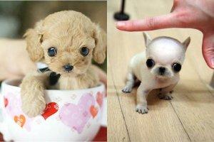 """Perritos """"mini toy"""": Las razones por las que no debes comprarlos"""