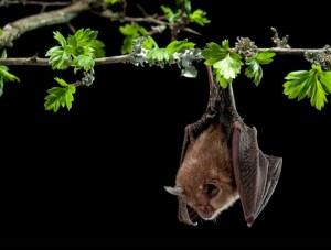 Detectan virus en murciélagos de Asia que podrían generar otras epidemias